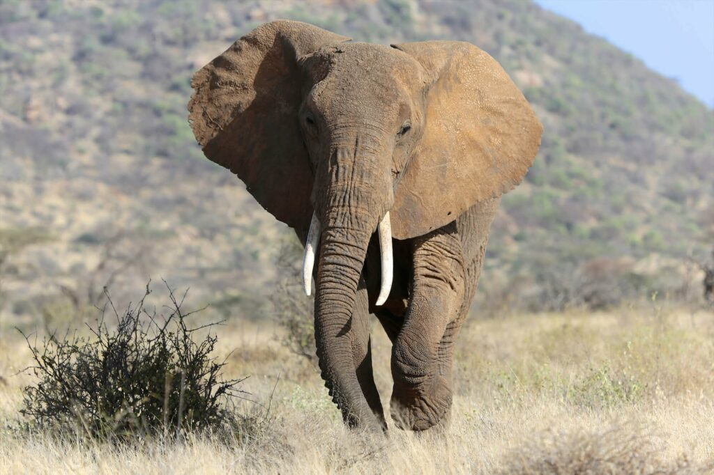 Can You Imagine A World Without Elephants?